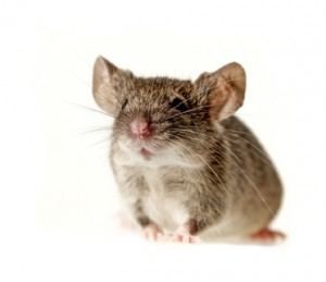 a little mouse - white background